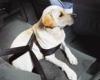 Bottari cinturon seguridad perros